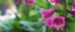 Purple Foxglove