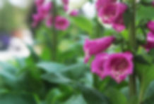 plants foxgloves
