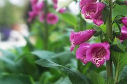 Foxglove violet
