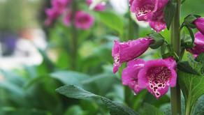 Plant Lore: Foxgloves
