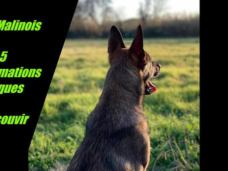 Le Malinois ! 5 Informations Pratiques.