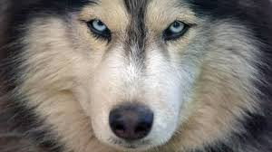 Une nouvelle vie pour des chiens nordiques abandonnés
