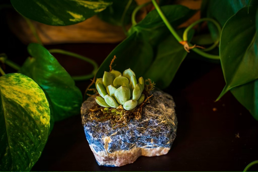 Sodalite Succulent Crystal
