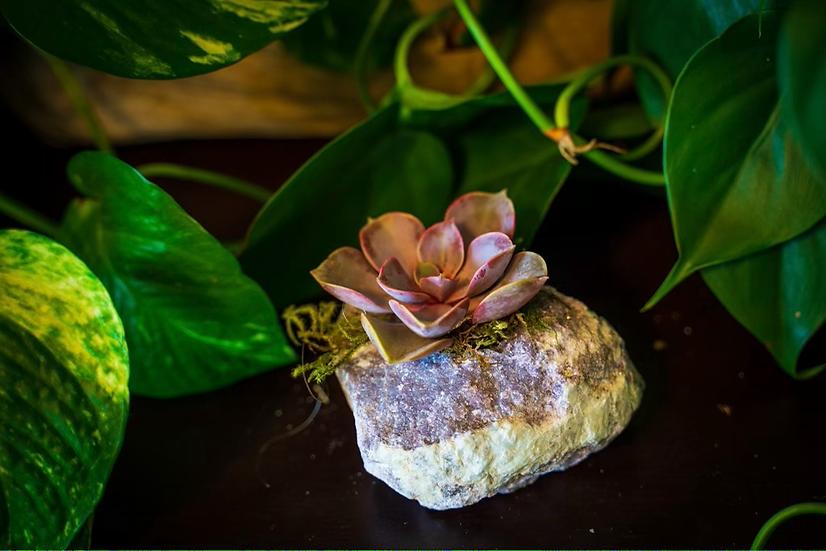 Lepidolite Succulent Crystal