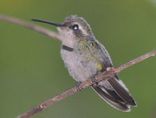 Aves do Uberlandia