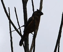 Lesser Seedfinch
