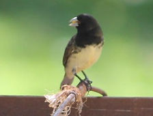 Yellow Bellied Seedeater
