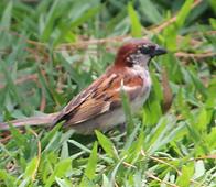 House Sparrow Uberlandia