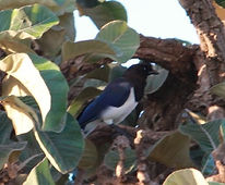 Curl Crested Jay