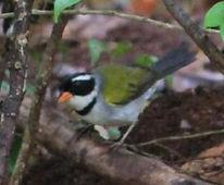 Saffron billed Sparrow