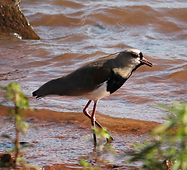 Birds of Minas Gerais