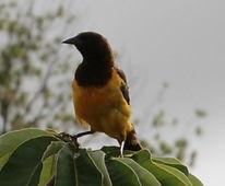 Yellow Rumped Marshbird