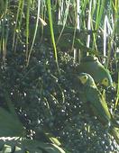 Birds of Uberlandia