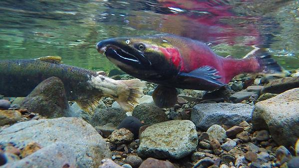 Spawing salmon.jpg