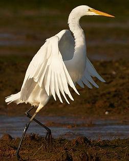 Great Egret.jpg