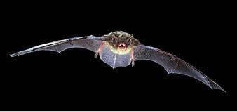 Little Brown Bat flying.jpg