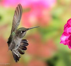 Anna's Hummingbird hovering.jpg