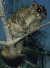 Northern Flying Squirrel-upright.jpeg