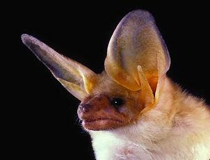 Pallid Bat.jpg
