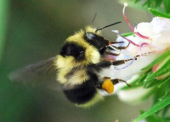 California Bumblebee.jpg