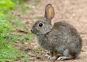 Brush Rabbit.jpg