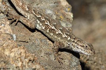 Northwestern Fence Lizard (HumCO-dorsal)