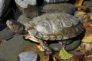 Northwestern Pond Turtle.jpeg