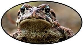 bullfrog%20head_edited.jpg