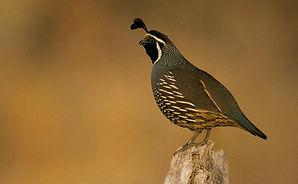 california_quail_dave_menke_usfws_croppe