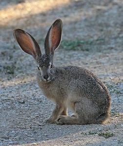 Black-tailed Jack Rabbit.jpeg