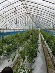 7月はトマトの収穫にいきました