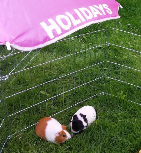 Guinea pig outdoor play pen area