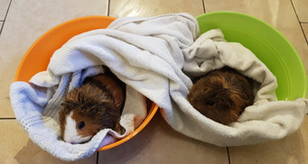 Guinea pig Bath available if required