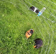 Guinea pigs in the outdoor pen