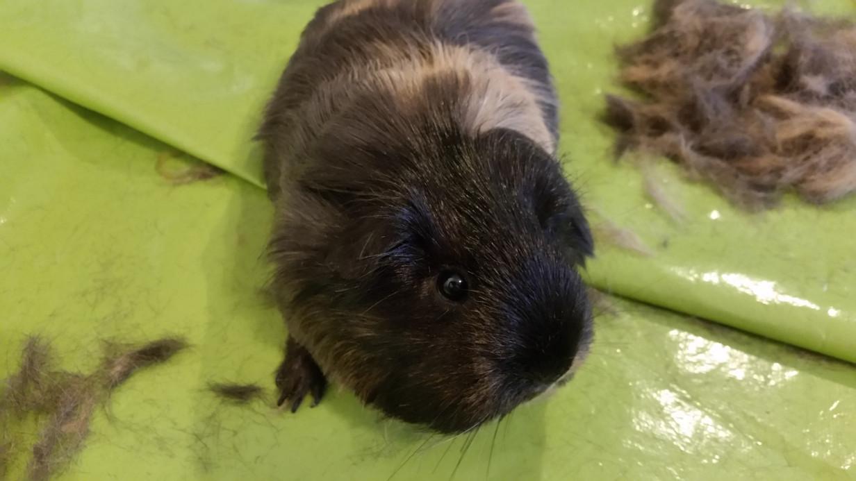 Guinea pig hair cut