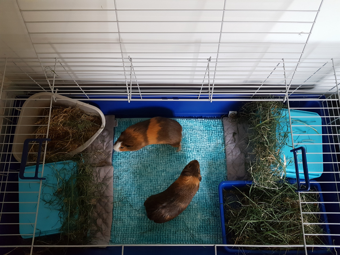 L/XL cages for guinea pigs €8 per Day
