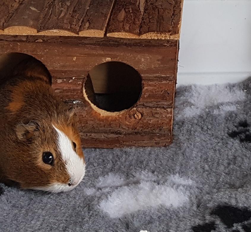 Vet bedding available for guinea pigs