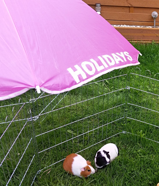 Guinea pig Holiday resort
