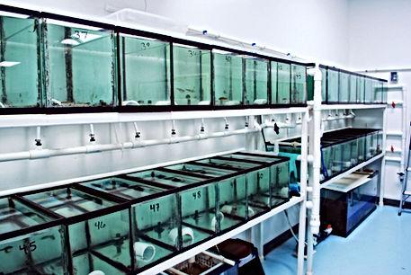 Fathead Minnow Egg Production Tanks