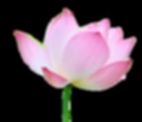 lotus-2_edited_edited_edited.png