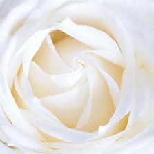 white%20rose_edited.jpg