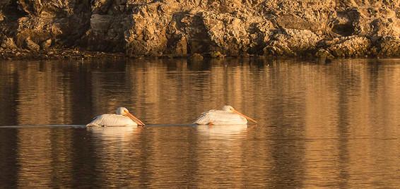 Pelicans at Abbots Lagoon