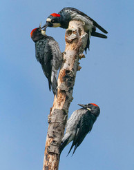 Acorn Wood Peckers