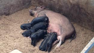 Improving Native Pig Breeds