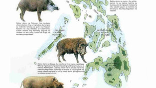 The origin of the Native Pigs
