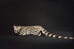 Pet_Photographer_Colchester_genet