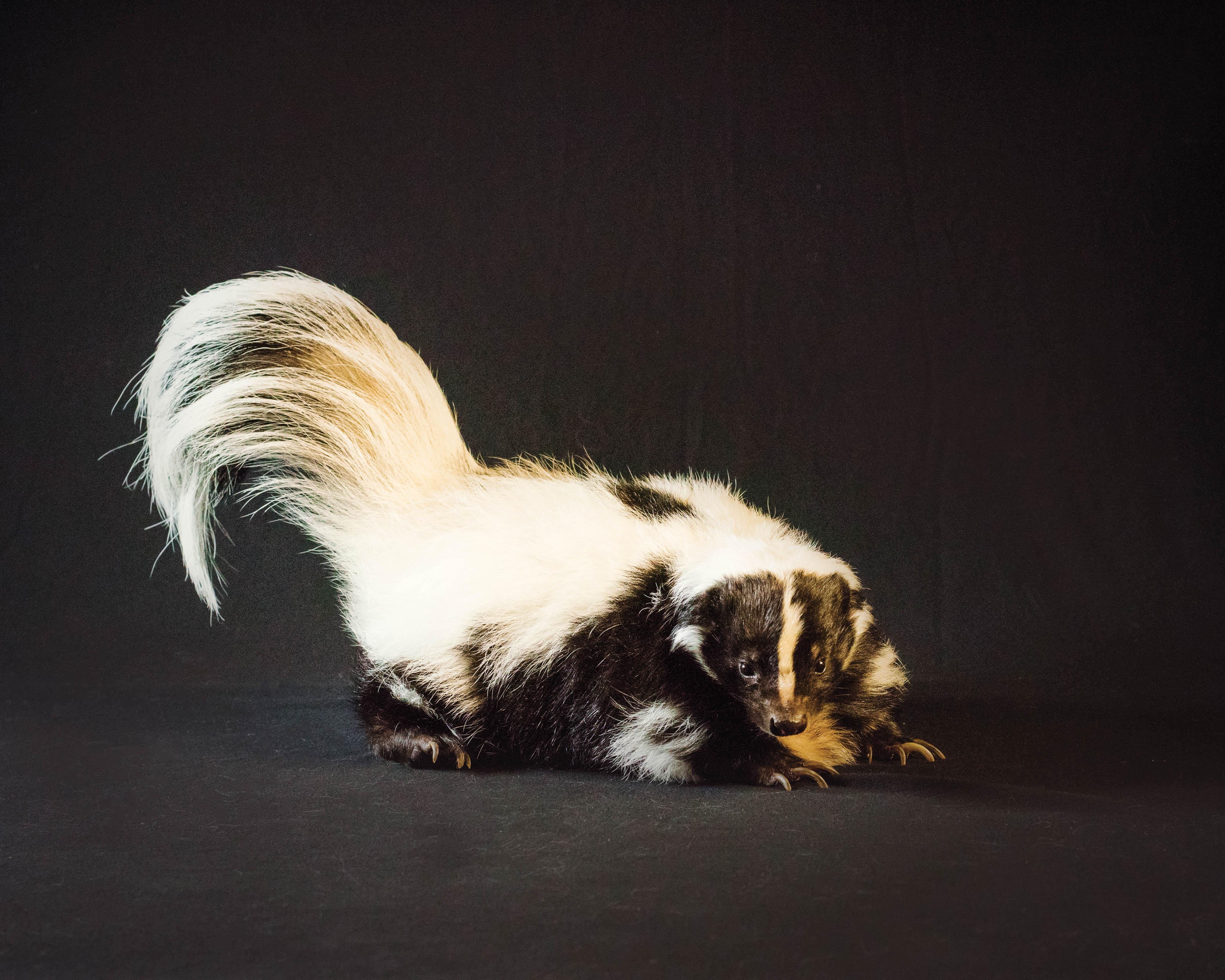Pet_Photographer_Colchester_skunk