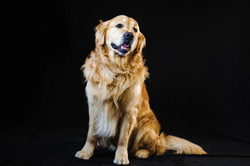Pet_Photographer_Colchester_Labrador