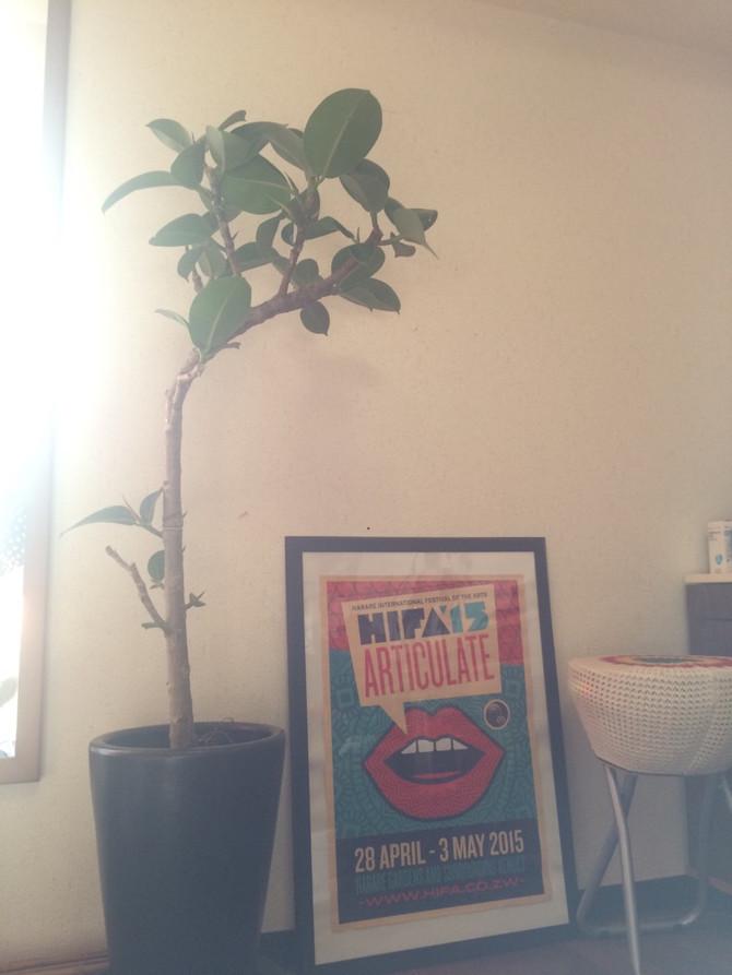ミュージシャンiyco邸にてゴムの木を設置しました。