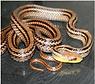 シマヘビ.png